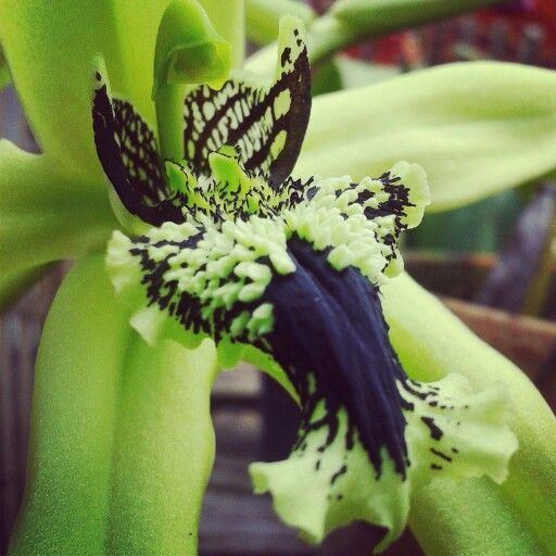 #orchid #green