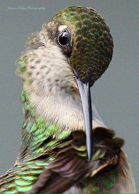 Best HUMMING BIRDS Images On Pinterest Humming Birds Wild - Photographer captures amazing close up photos of hummingbirds iridescent feathers