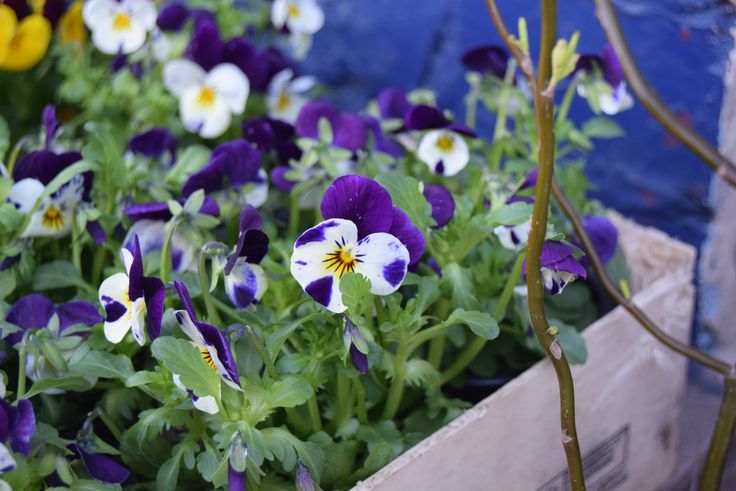 Bratki w skrzynce. #hydrobox #hydroboxpl #kwiaty #kwiatydoniczkowe #wiosna #flowers #diy #flowerpot #doniczka #vintage