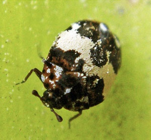 Kill Carpet Beetles Besides Moths On
