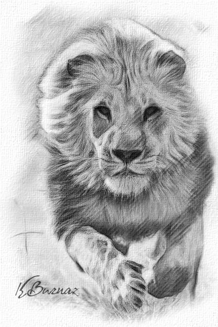 King of the jungle... Pencil drawing...