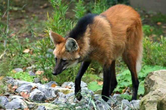 mane wolves | Maned Wolf Pee Demystified