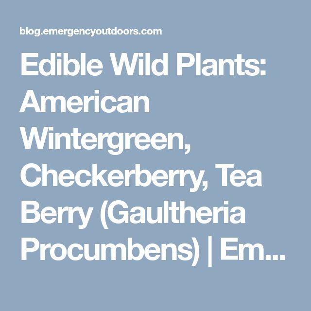 Edible Wild Plants: American Wintergreen, Checkerberry, Tea Berry (Gaultheria Procumbens) | Emergency Outdoors Blog