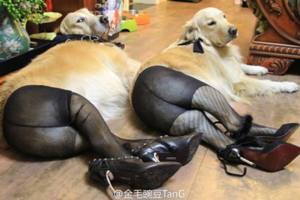 The Latest Viral Trend Puts Pups In Pantyhose, Because That's A Thing - so bizarre, but I can't stop laughing