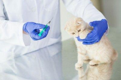 Penting untuk Tau Jenis Vaksin Yang Baik Untuk Kucing Persia dan Anggora