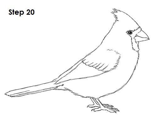 Cardinal Bird Drawing 20
