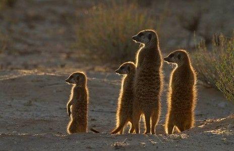 Meerkats in South Africa!