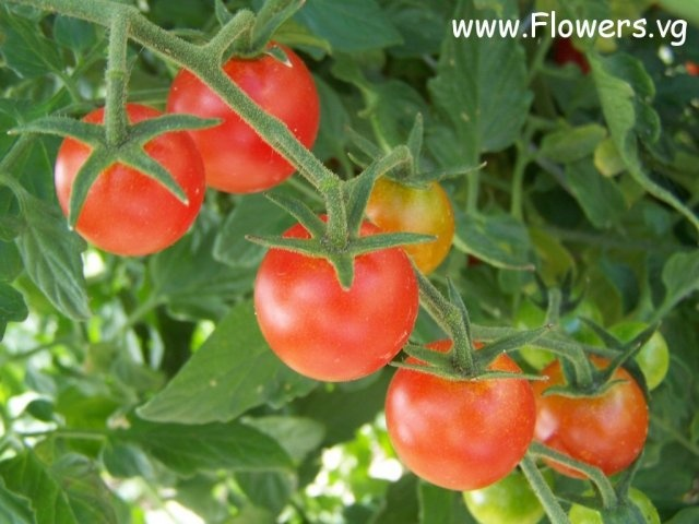Cherry tomatoes *HAVE