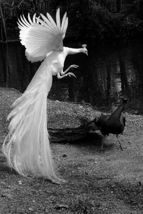 black and white peacocks