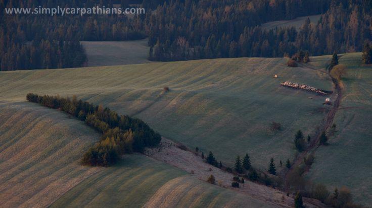 Shepherding in the Pieniny Mountains, Poland.