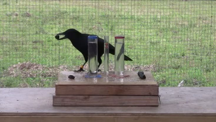 A crow displaying a remarkable understanding of water displacement and causality.