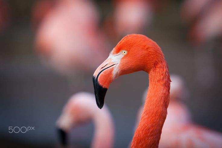 Flamingo by Michaela Smidova on 500px