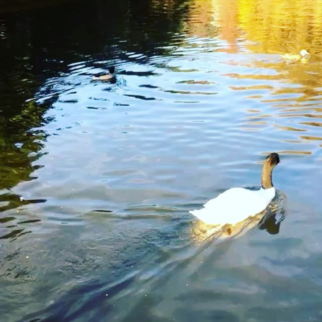 Cisne . . . . . #instagood #instacool #instapic #instalike #instaconce #instachile #concepcion #instavideo #boomerang #photooftheday #beautiful #nature