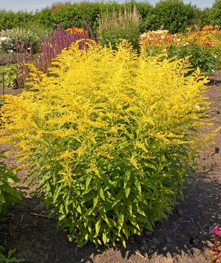 145 best plant cultivars  fall perenniels images on pinterest