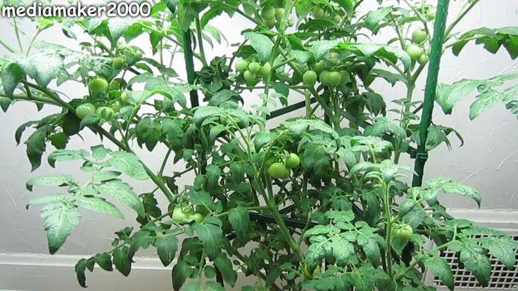 Pin Tomato Plant Diagram On Pinterest