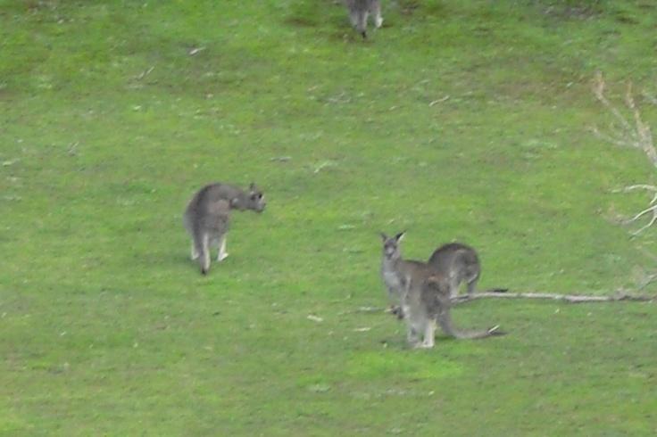 My first kangaroo siting!