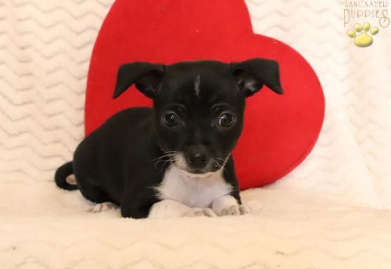 Kane Chihuahua Puppy For Sale In East Berlin Pa Lancaster
