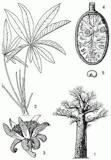 Adansonia grandidieri - Grandidier's baobab