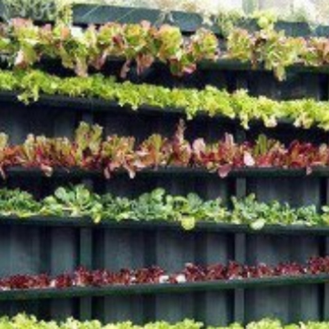 Salad leaves grown in drainpipes attached to a fence!! Inspired :)