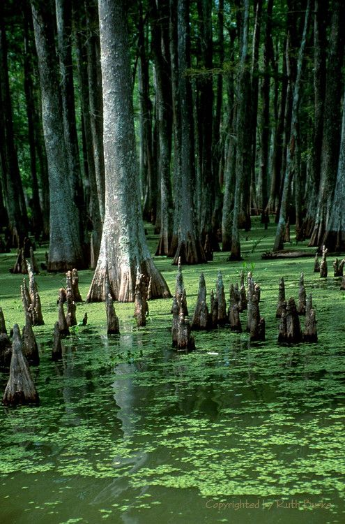 35 Best Images About Cypress Knees On Pinterest Lamps