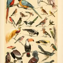 Free Vintage Illustrations of Wild Birds