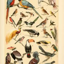 Free Vintage Illustrations of Wild Birds