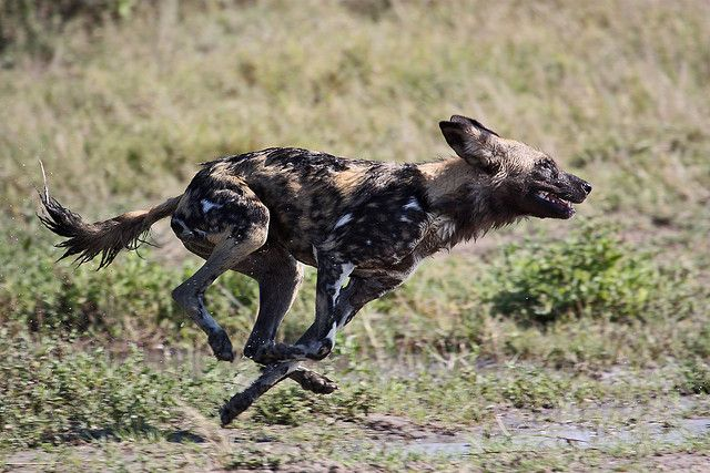 African Wild Dog | by - Just John -