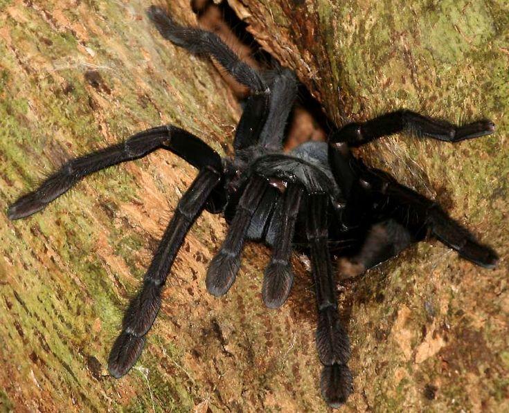 Tarantula at Tangkoko Nature Reserve