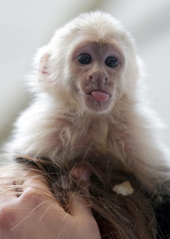 Baby capuchin monkey                                                                                                                                                                                 More