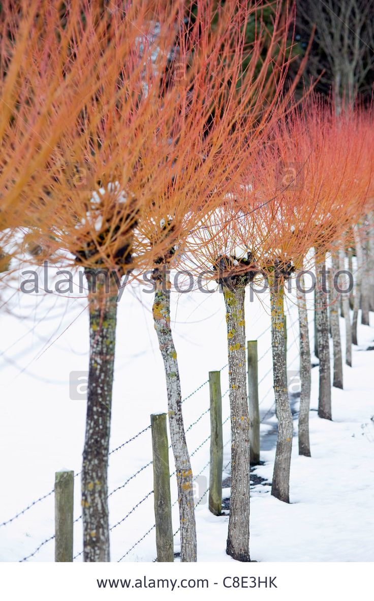 salix alba var vitellina u0027britzensis u0027 flowering winter plants