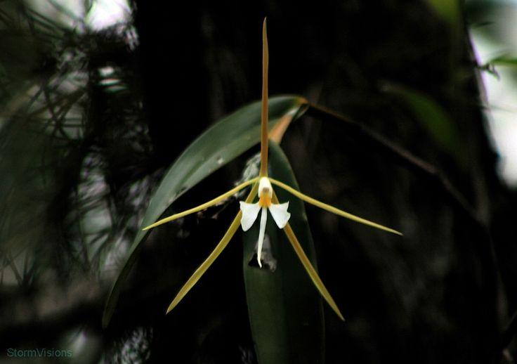 Epidendrum Nocturnum orchid..