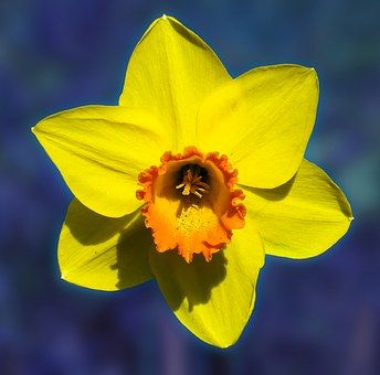 Λουλούδι, Νάρκισσος, Άνθος, Κίτρινο