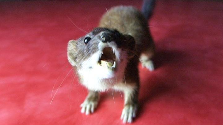 'Cute Mass Murderers' - Seven Sharp video on stoats