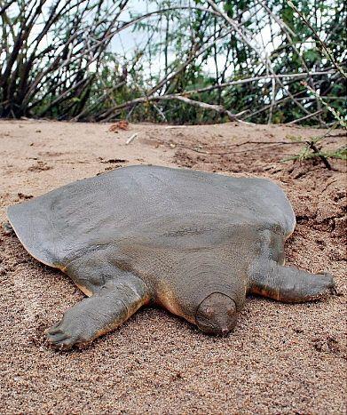 Une tortue à carapace molle rare, une fois pensé pour être sur le bord de l'extinction, est considéré au Cambodge mai 2007. par Conservation International