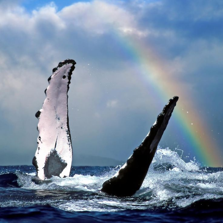 """Joe West (@joewestphotography) on Instagram: """"Still one of my favorite shots - """"Whale Rainbow"""". This was shot from a rocking boat between the island of Maui and Lana'i in Hawaii."""""""