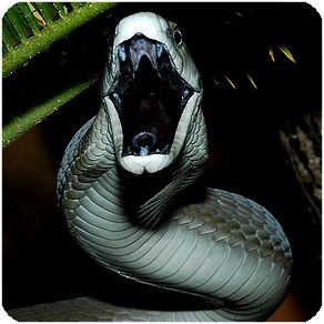 Black Mamba- really Grey with Black inner mouth. Don't mess around or it will end you quickly!
