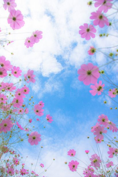 Beautiful Pink Cosmos & Blue skies