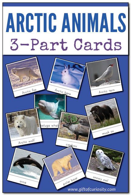 Arctic Animals Montessori 3-Part Cards for learning and identifying 14 different Arctic animals. Perfect for your Arctic unit study. #Arctic #ArcticAnimals || Gift of Curiosity