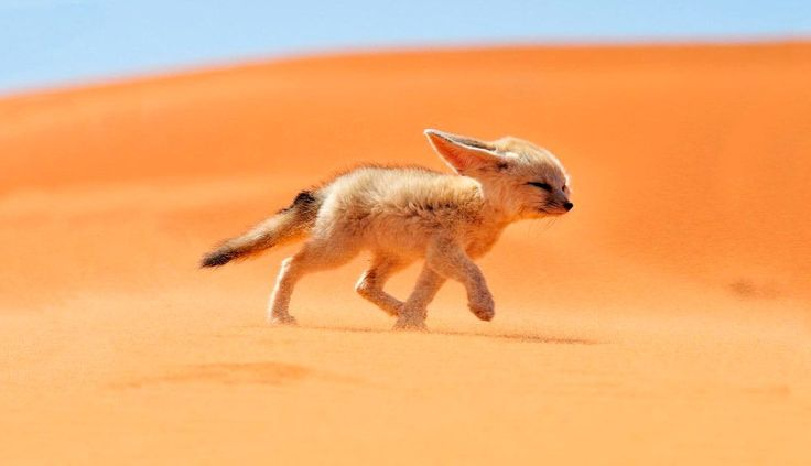 Fénec, top de animales del desierto más raros del mundo