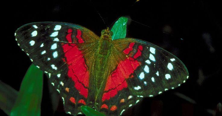 Características da borboleta Anartia amathea vermelha. A Anartia amathea vermelha é uma das espécies de borboleta mais comuns no Brasil. Pesquisas mostram que a reflexão de cores nas asas da borboleta não são causadas por pigmentos, como acreditava-se anteriormente, mas por pequenas armações dentro das escamas da asas, afirma Sarah Davidson do site Live Science. Essa pequena borboleta possui asas ...