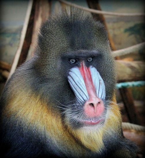Mandril aap