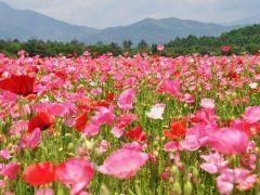 山梨県の花の都公園では今ポピーの花が見頃を迎えています 約25万本のポピーが植えられていて富士山をバックに咲く風景は圧巻ですよ 小さい子どもでも楽しんで遊べるような遊具もあるので家族で出かけてみてくださいね  #山梨 #ポピー #花の都公園 #公園 #富士山 tags[山梨県]