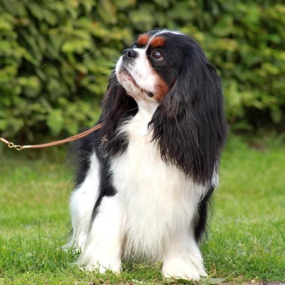 Beautiful Cavalier!                                                       …