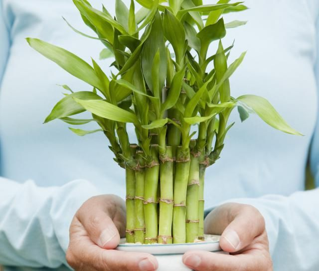Feng Shui Use of the Lucky Bamboo Cure: The lucky bamboo is considered a successful feng shui cure when it represents all five feng shui elements.