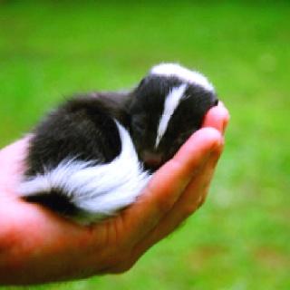 Baby skunk!!