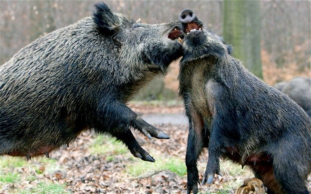Experts warn of threat from Poland's wild boar