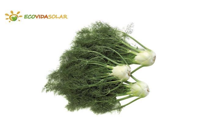 Hinojo (Foeniculum vulgare) - Propiedades del hinojo