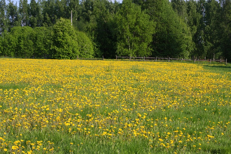 This meadow is located near the center of Seinäjoki, beside the river. The are not so many places here where you can see this many dandelions at the same time. If I just remember, I will take another shot when they turn white. seinajokidailyphoto.blogspot.com