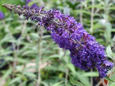 Buddleia Davidii 'Adonis Blue' - Marcel Lavallière Paysagiste. Buddleia Davidii 'Adonis Blue' est une plante au feuillage vert foncé mat, grisâtre en dessous et au port buissonnant dense légèrement retombant. Les fleurs sont odoriférantes et mauve foncé avec un oeil orange. Enlever les fleurs fanées pour prolonger la floraison. Dans une zone USDA de 5 à 6, le feuillage ne survivra pas à l'hiver et il est préférable de cultiver cet arbuste comme une plante herbacée vivace. En fait, même si…