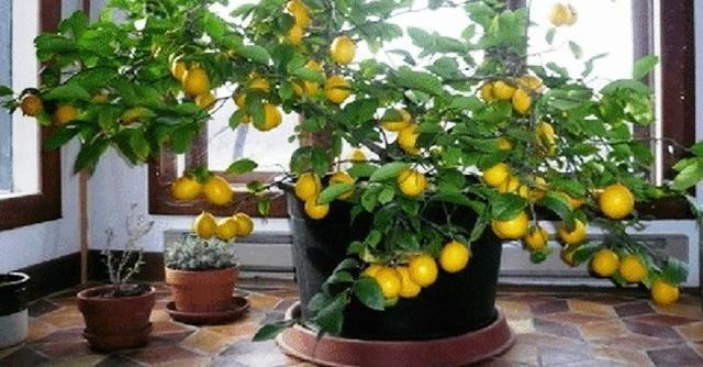 Otthoni citromtermesztés